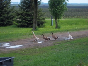 Why did the duck cross the yard?? To get to the giant puddle in the driveway!