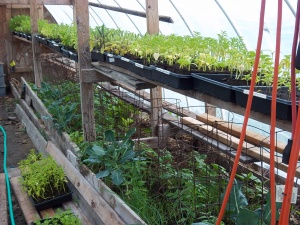 Using the raised beds in the green house for some tomatoes, cucumbers and early season peppers!