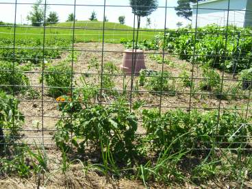 Using cattle panels as a trellis